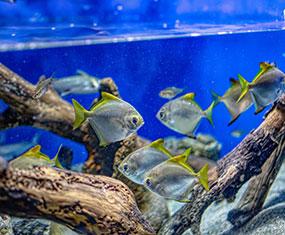 鑑賞魚コーナー